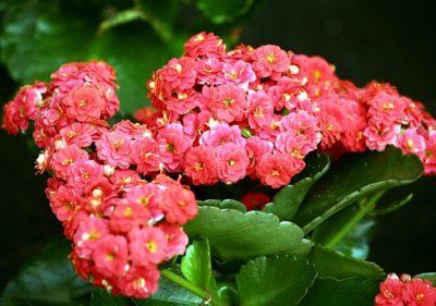 Желтеют листья у каланхоэ: что делать при потере вегетативными органами цветка зеленого цвета и других проблемах растения?