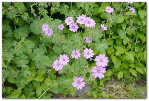 Пеларгония болд: популярные сорта Голд и Кармин, посадка, уход и размножение этого растения, как справиться с вредителями и болезнями