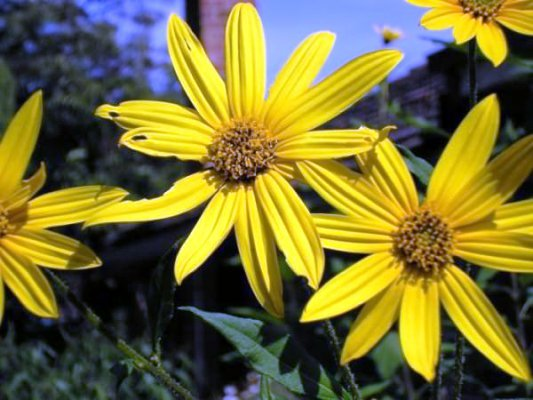 Цветы топинамбура: описание, фото, лечебные свойства, как и когда распускаются, а также рецепт приготовления целебного настоя и противопоказания к употреблению