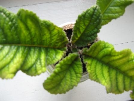 Глоксиния болезни листьев и лечение, а именно: почему появляются коричневые пятна, скручиваются, становятся сухими, бурыми, желтеют, что делать и фото