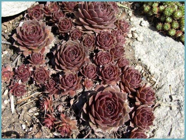 Молодило кровельное: посадка и уход в открытом грунте и в комнатных условиях, а также описание внешнего вида и способов размножения растения