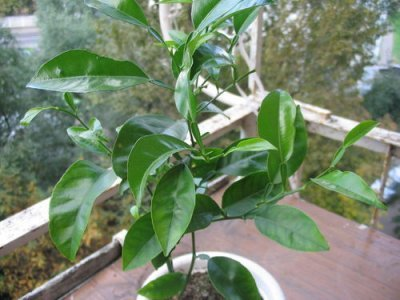 Как вырастить лимон и правильно размножить в домашних условиях из косточки и другими способами, чтобы дерево росло в горшке на подоконнике, а также уход и фото