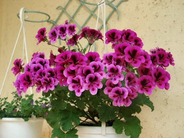 Пеларгония Грандифлора: уход в домашних условиях, ее внешний вид, размножение, а также возможные болезни и вредители