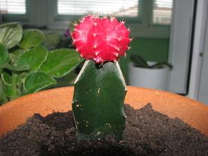 Гимнокалициум Михановича: правила ухода за кактусом в домашних условиях, а также размножение этого комнатного растения семенами и детками