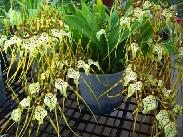 Орхидея Брассия: описание и фото сортов, уход за растением и посадка в домашних условиях