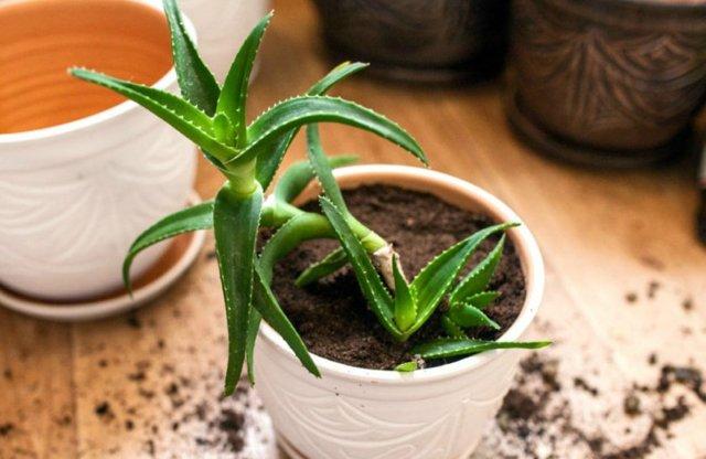 Как поливать алоэ вера правильно: в каких органах растение запасает влагу, как  часто нужно увлажнять в домашних условиях, сколько раз надо орошать зимой?