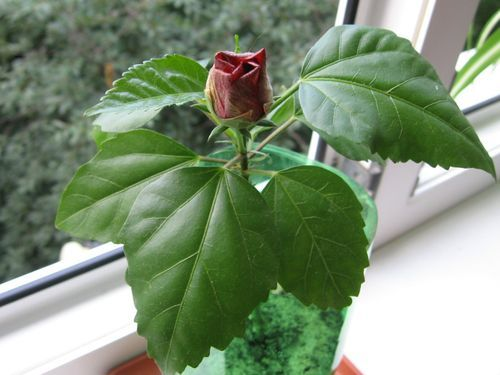 Как правильно обрезать китайскую розу в домашних условиях: когда это делать для формирования пышного комнатного куста и можно ли проводить процедуру зимой?