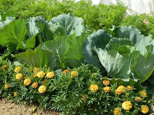 Бархатцы на рассаду: когда сеять и как лучше сажать, по какой цене можно приобрести всходы растений?