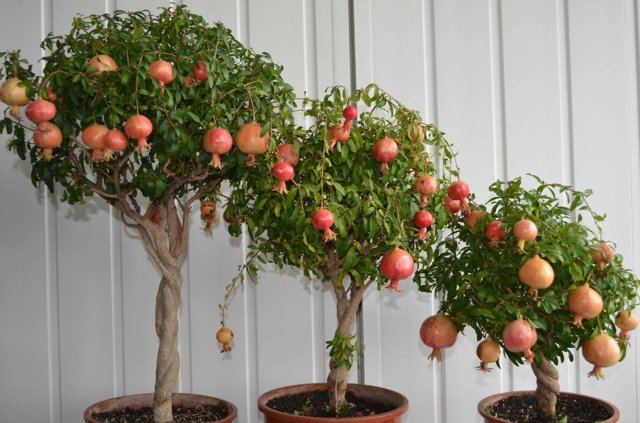 Как цветет гранат: фото дерева, в каком месяце начинает распускаться комнатный кустарник в домашних условиях и в саду, почему могут возникнуть проблемы и что делать?