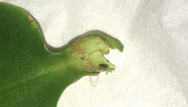 Паутинный клещ на орхидее: меры борьбы в домашних условиях, фото вредителя, а также как быстро от него избавиться