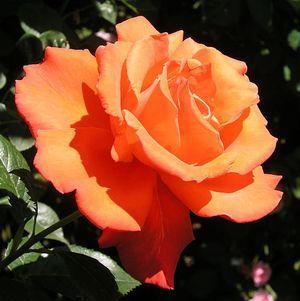 Лучшие сорта роз для Сибири, Урала и средней полосы России: особенности выращивания в открытом грунте в различных климатических зонах, описание и фото цветов