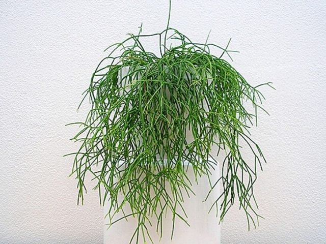 Рипсалис (rhipsalis) — что это такое: описание и фото кактуса, обзор популярных видов, выращивание дома, а также похожие цветы и отличия растения от хатиоры