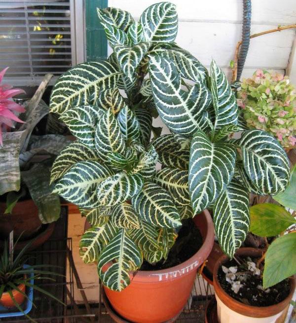 Афеландра: фото, значение цветка в доме, а также особенности размножения этого комнатного растения и ухода за ним