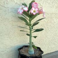 Выращивание адениума в домашних условиях: уход за цветком и способы его размножения, посадка