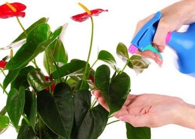 Как поливать антуриум: часто ли это нужно делать в домашних условиях, можно ли опрыскивать