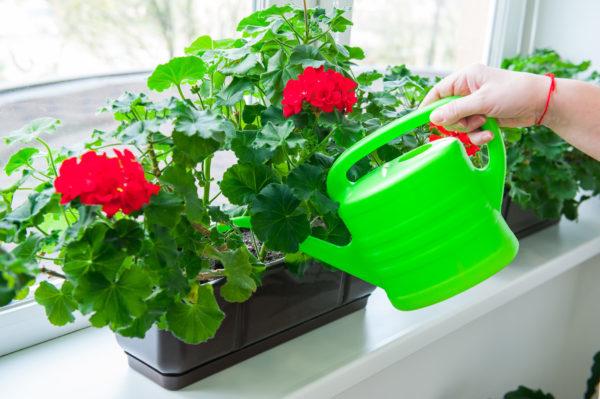 Герань на даче: посадка и уход при выращивании на улице, фото растения, а также нюансы того, как высадить из горшка в открытый грунт