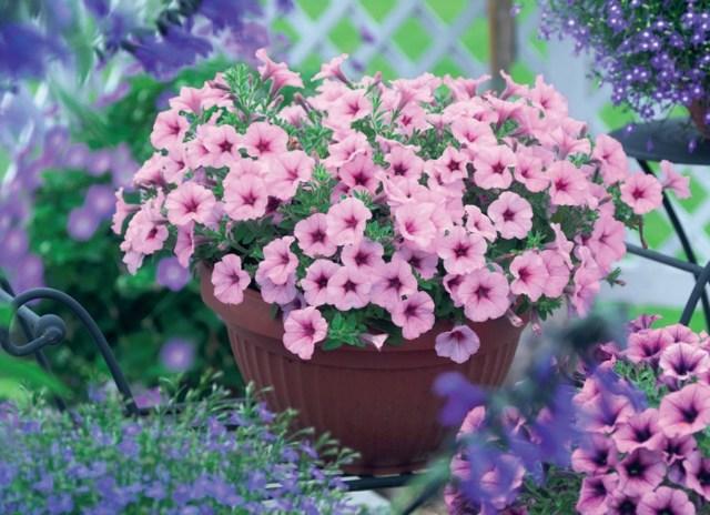 Петуния сурфиния: что это растение, как цветок выглядит на фото, а также рекомендации по уходу и размножению