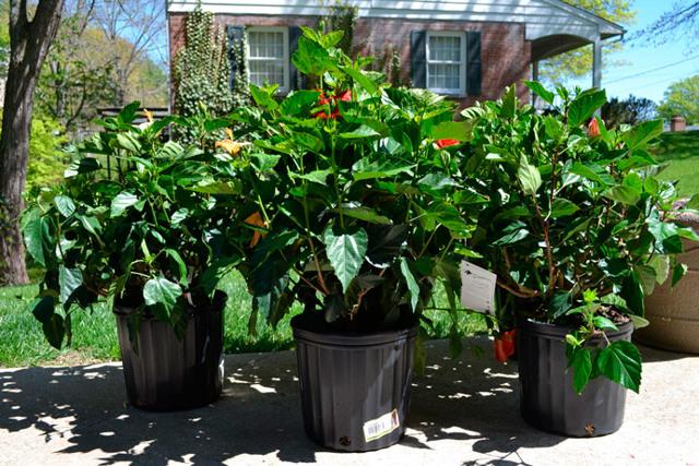 Когда цветет гибискус: в какое время распускает бутоны комнатное растение, как долго в домашних условиях длится период, сколько ждать после посадки, а также фото