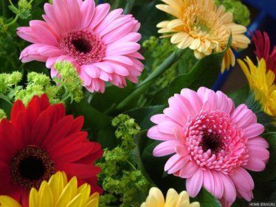Почему герберы не цветут в домашних условиях: когда и сколько она должна это делать, как ухаживать за комнатным растением