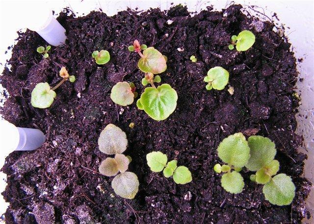 Бегония вечноцветущая: уход за комнатными сортами и посадка травянистого растения в открытом грунте, а также особенности и фото махрового гибрида цветка