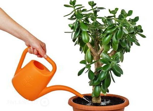 Как рассадить денежное дерево в домашних условиях: что необходимо для этого, как правильно проводить процедуру, трудности содержания толстянки, фото после пикировки