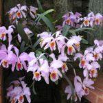 Как обрезать фаленопсис после цветения: нужно ли удалять цветонос у орхидеи и как это правильно сделать, а также каков дальнейший уход за растением?