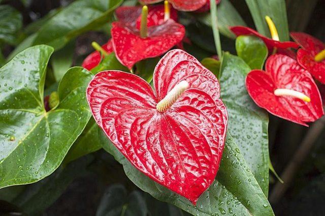Комнатное растение антуриум Гукера: описание внешнего вида, история происхождения и география обитания цветка, а также особенности ухода за ним в домашних условиях