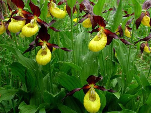 Орхидея Венерин башмачок: описание и фото цветка, а также уход в домашних условиях за растением