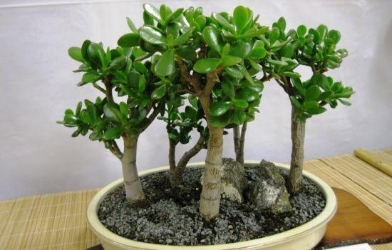Почему не растет денежное дерево: что делать в домашних условиях, если толстянке плохо, она стоит на одном месте, как ухаживать, чтобы ускорить процесс развития?