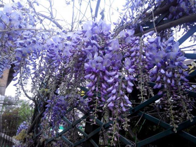 Глициния китайская: посадка и уход в домашних условиях и выращивание в открытом грунте, размножение, цветение и вредители, а также фото растения