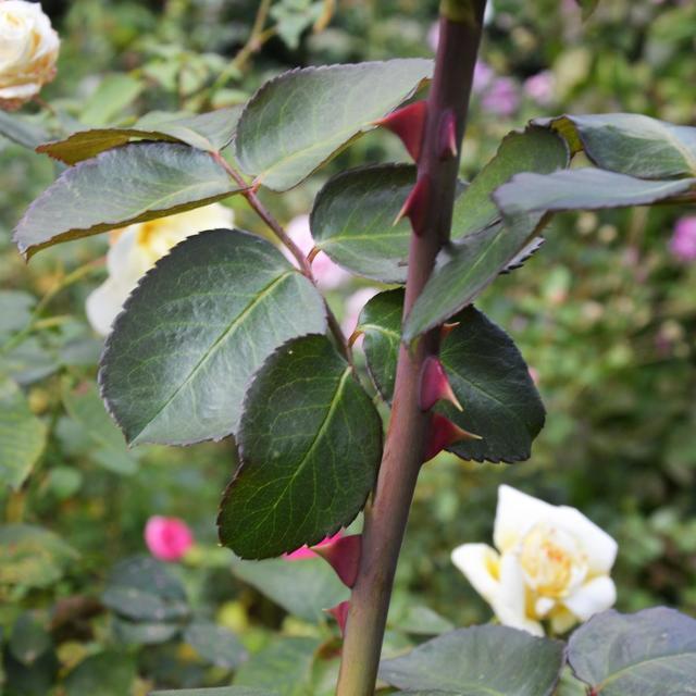 Когда укрывать розы на зиму: какую температуру они выдерживают без этой процедуры, что надо о ней знать и каковы могут быть последствия при ошибочных действиях?