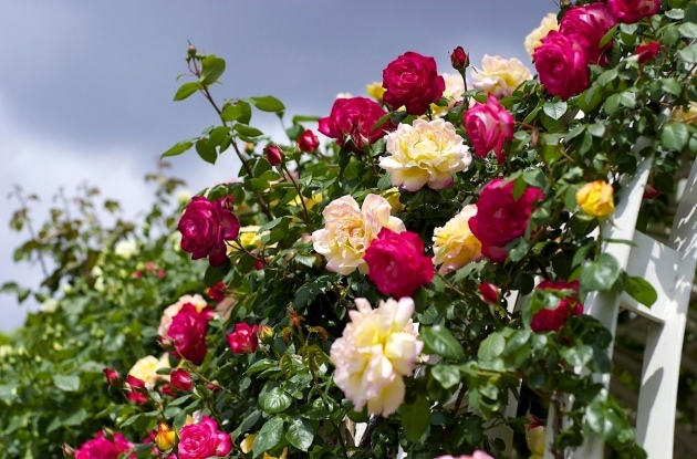 Плетистая роза Амадеус: фото, описание и характеристика сорта, особенности цветения и размножения, а также пошаговая инструкция по уходу за растением