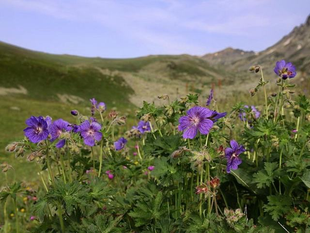 Герань садовая многолетняя: фото, сорта  - почвопокровная, низкорослая, Блэк Бьюти, а также особенности их выращивания и размножения