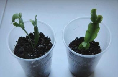 schlumbergera truncata (шлюмбергера трунката): описание данного вида декабриста, особенности посадки усеченного зигокактуса, уход за ним и способы размножения