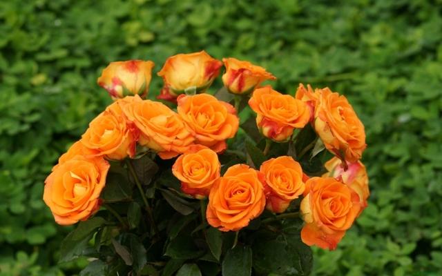 Как вырастить розы из семян из Китая в домашних условиях: как выбрать, где купить, как посадить и ухаживать за молодыми цветами правильно?