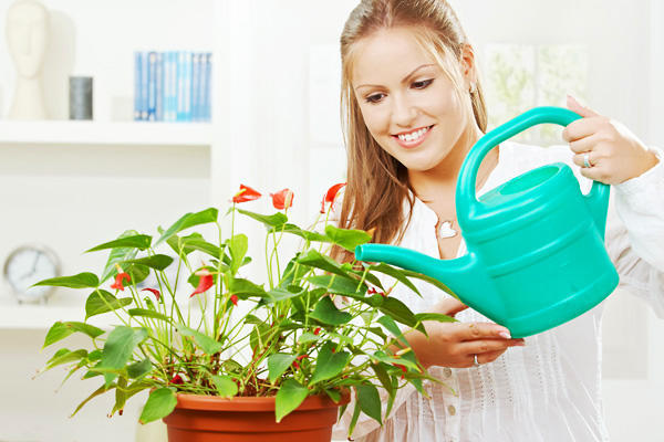 Как поливать цикламен в домашних условиях: как часто и когда, особенности процесса  во время цветения, фото ухода за растением