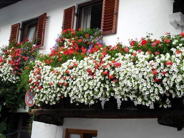 Ампельная герань плющелистная, иногда называемая плющевидной: уход за растением в домашних условиях и на улице, фото разных сортов этих цветов