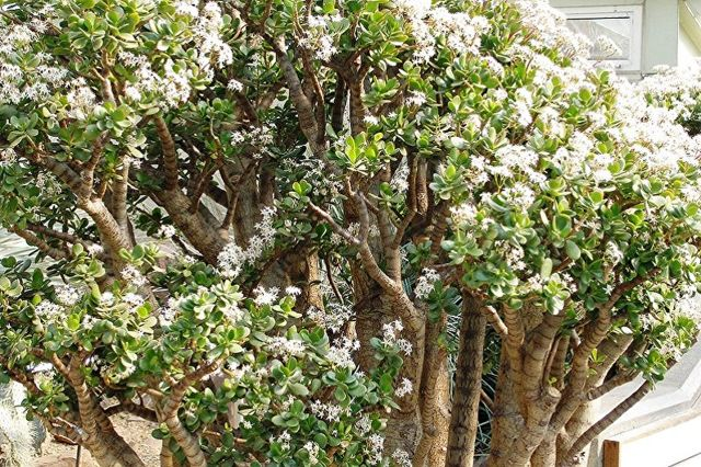 Большое денежное дерево: фото, уход и интересные факты, а также можно ли вырастить огромную толстянку и какие виды крассулы достигают самых крупных размеров?