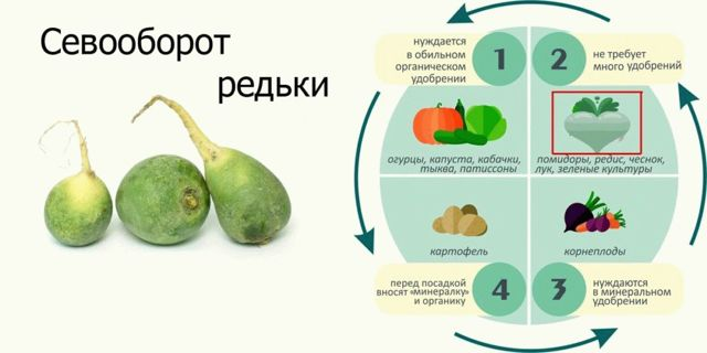 Когда сажать маргеланскую редьку в открытом грунте, теплице и дома, в какие сроки сеять семена китайского овоща Лобо в Сибири, и время посадки в иных регионах