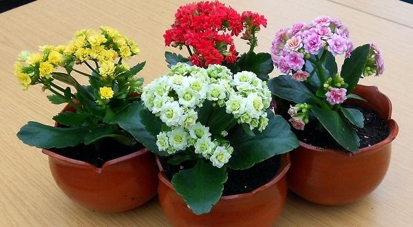 Каланхоэ – это декоративное домашнее растение суккулент: другие названия и фото, как оно выглядит, а также как его вырастить в горшке