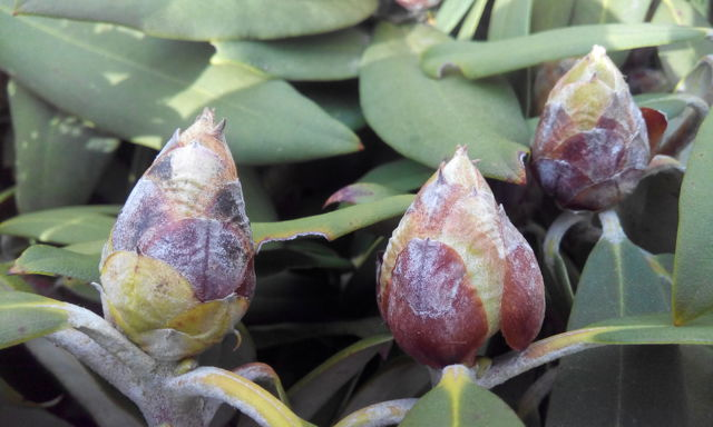 Листки у азалии растут очень светлыми, бледными, коричневыми, а также краснеют, скручиваются вовнутрь: почему это происходит и что делать; фото болезней рододендрона