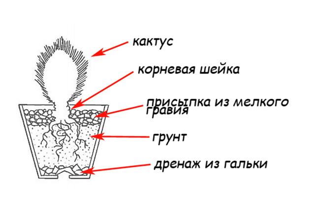 Как посадить кактус без корней: все способы размножения растения, этапы проведения процедуры, правильный выбор горшка и земли, а также последующий уход за цветком