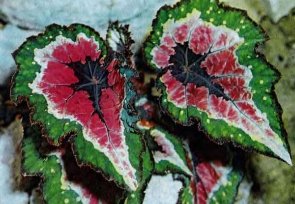 Бегония королевская: уход в домашних условиях и фото, особенности размножение растения