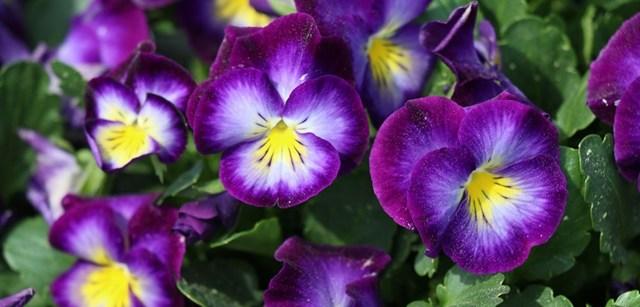 Можно ли держать фуксию дома: приметы и суеверия связанные с этим цветком, а также общая информация по выращиванию и болезням растения