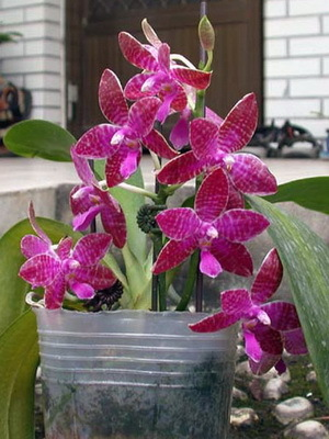 Сорта и виды Фаленопсиса: фото, названия с описаниями, а также общие рекомендации по уходу за орхидеей