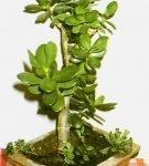 Болезни денежного дерева (толстянки, крассулы) и его вредители: фото, описание, а также рекомендации, что делать для лечения и как бороться с насекомыми на цветке