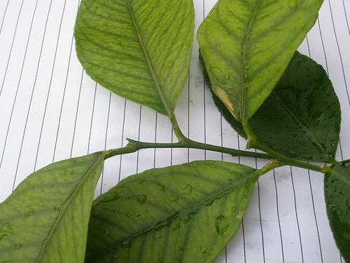 Поражающие листья домашнего лимона болезни: как понять, чего не хватает цветку, что делать, если он светлеет, и лечение хлороза, других инфекций и фото их признаков