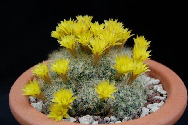 Маммиллярия Вильда: описание и фото, уход за растением, в том числе обрезка, а также зимовка и возможные болезни кактуса