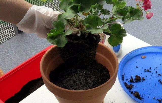 Королевская пеларгония: уход и размножение в домашних условиях семенами, черенками, делением куста, а также в каком грунте лучше укоренить растение