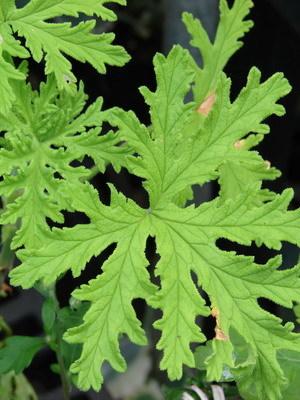 Желтая пеларгония: фото, какие сорта существуют на сегодняшний день, пошаговая инструкция по выращиванию, уходу и размножению растения